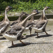 Stock Photo: A gaggle of geese