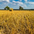 Harvested field in end of summer — Stock Photo
