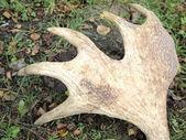 Elk antler — Stock Photo