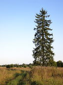 Large spruce — Stock Photo