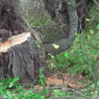 Sawing tree — Stock Video