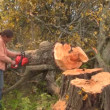 Sawing tree — Vídeo Stock