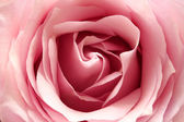 Pink rose — Stock fotografie