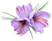 Saffron flowers — Stock Photo