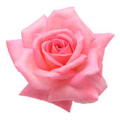 Pink rose — Stock fotografie