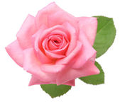 Pink rose with leaves — Stock Photo