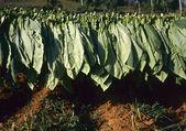 Tobacco field in CUBA — Stock Photo