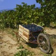 Harvesting grapes — Stock Photo #24397201