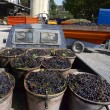 Grapes ready to unload — Stock Photo