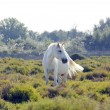 A wild white Camargue horse — Stock Photo