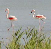 Wild flamingos in Camargue — Foto Stock