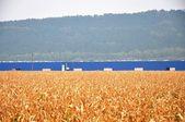 Illustratie met maïsveld — Stockfoto
