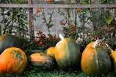 Colored pumpkins — Stock Photo