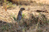A smiling ground squirrel at samburu national game park kenya — Stock Photo