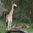 A giraffe in front of a herd of impalas in naivasha lake national game park kenya — Stock Photo