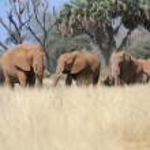 ������, ������: A herd elephant in savanna in samburu national game park