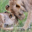 A lion and a lioness at masai mara national game park kenya — Stock Photo