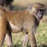 ������, ������: A little savanna baboon at naivasha lake national game park