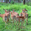 A nice herd of impalas in naivasha lake national game park kenya — Stock Photo