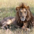 A nice lion at the masai mara national park kenya — Stock Photo