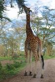 A big giraffe eating a tree in naivasha lake game park kenya — Stok fotoğraf