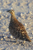A chestnut-bellied sandgrouse in samburu national game park kenya — Stock Photo
