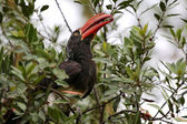 A crowned hornbill in a game park in kenya — Stock Photo