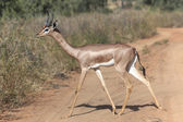 A gerenuk crossing a road at samburu national game park  — 图库照片