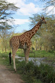 A giraffe is about to cross a river in naivasha national game park kenya — Stock Photo