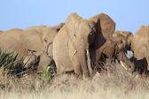 A group of elephants at samburu national game park kenya — Foto de Stock