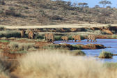A group of elephants crossing a river in samburu national game park — Stock Photo