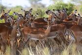Un gruppo di impala in gioco nazionale samburu parcheggiare kenya — Foto Stock