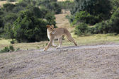 A lioness hunting in samburu national park kenya — Stock Photo