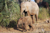 A mother elephant and her baby in samburu national game park — Stock Photo