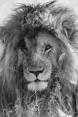 A portrait of a beautiful lion with a scarface at the masai mara national park kenya  — Stok fotoğraf