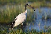 A sacred ibis at lake naivasha national park kenya — Stockfoto