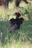 A southern ground hornbill at masai mara national game park kenya — Foto de Stock