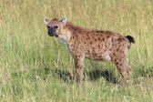 A spotted hyena in masai mara national game park kenya — Stock Photo