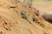 Un gruccione bianco-throated, cercando cibo al samburu national park gioco — Foto Stock