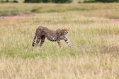 A wonderful cheetah streching his legs at masai mara national park kenya — Stock Photo