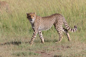 A young cheetah hunting in masai mara game park kenya  — Stock Photo