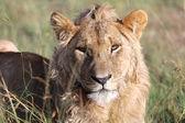 Ett ungt lejon med resten i masai mara nationalpark spel — Stockfoto