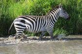A zebra crossing a river in masai mara national game park kenya  — Stok fotoğraf