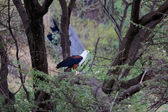 An african fish eagle in a tree at baringo lake national park kenya — Stock Photo