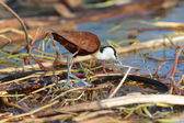 An african jacana at baringo lake national park  — Stock Photo