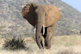 An elephant is approaching at me at samburu national game park kenya — Stock Photo