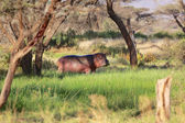 An hippopotamus near a river in samburu national game park kenya — Stock Photo