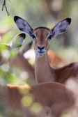 An impala looking at me at naivasha lake national game park  — Stock Photo