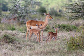 An impala with her two cubs in naivasha lake national game park — Stock Photo