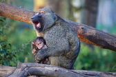 An olive baboon screaming with is baby at lake naivasha national park — Stock Photo